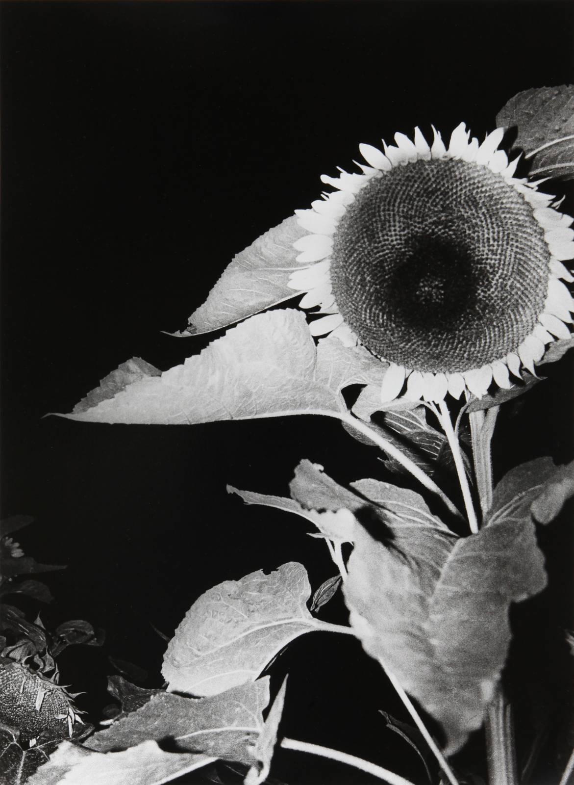 Sunflower, 1990/2010, silver-gelatin print, 40,7 x 30 cm